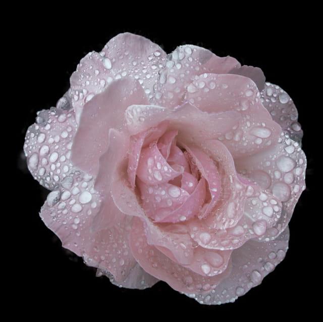 La rose après l'orage