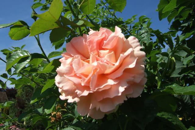 La rose éclose