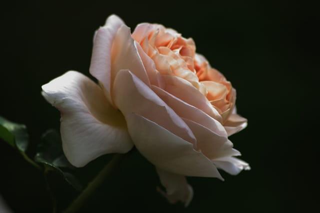 La rose est éclose