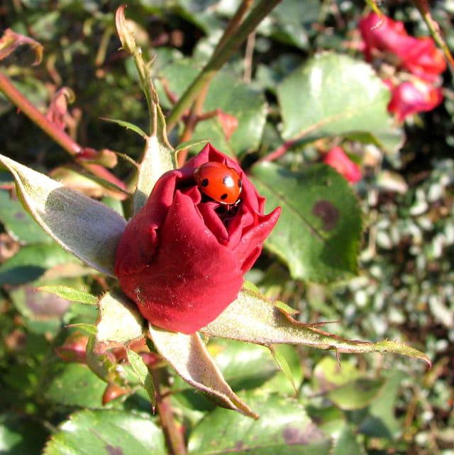 La rose et la coccinelle