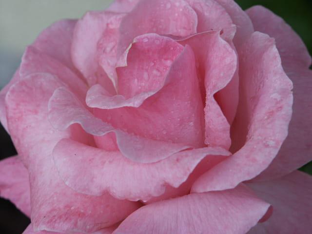 La rose et sa rosée
