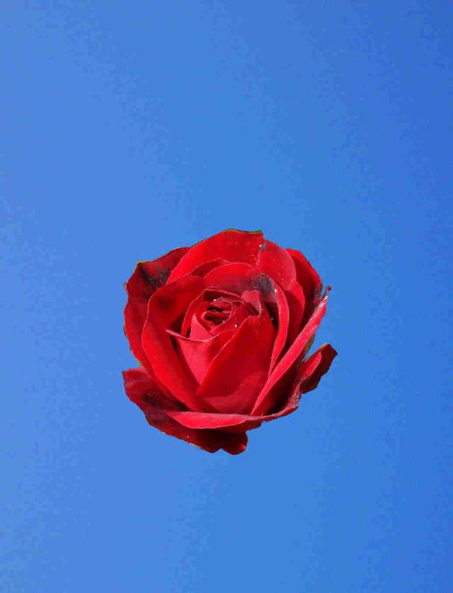 La rose méditative