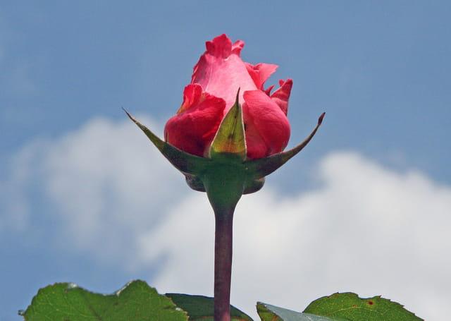 La rose pointant vers  le ciel