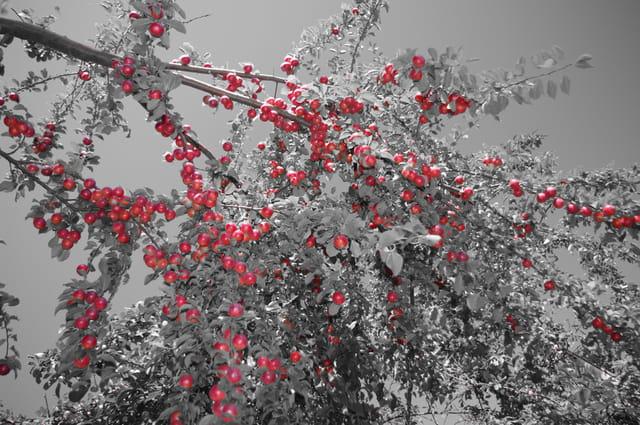 La saison des prunes