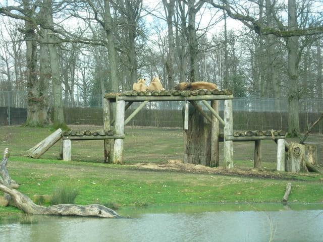 La sieste des lions