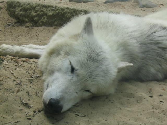 La sieste du loup blanc