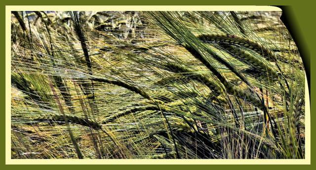 La tête dans les blés.