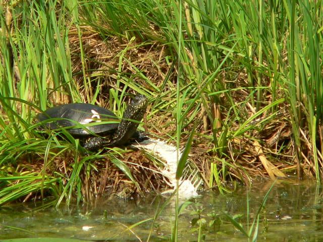 La tortue affamée