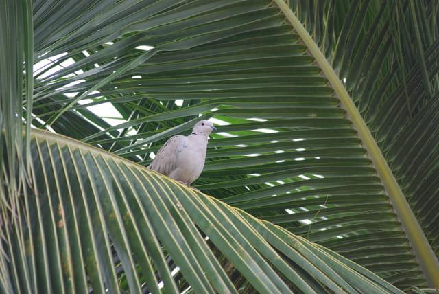 la tourterelle dans le palmier