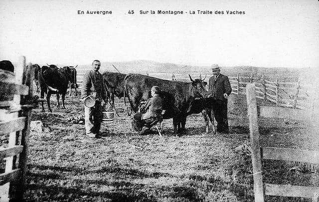 La traite des vaches