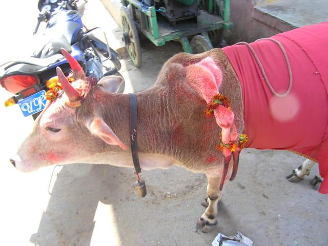 La vache à 5 pattes