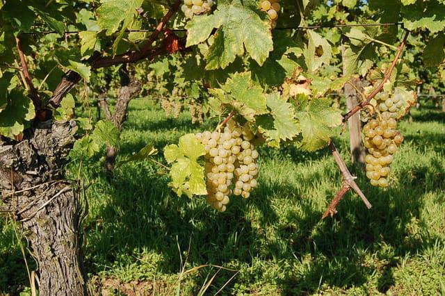 La vigne et son raisin