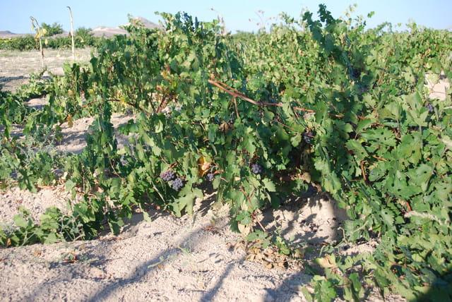 La vigne rampante de la Cappadoce