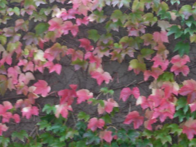 La vigne vierge rougit comme une midinette avec l'automne