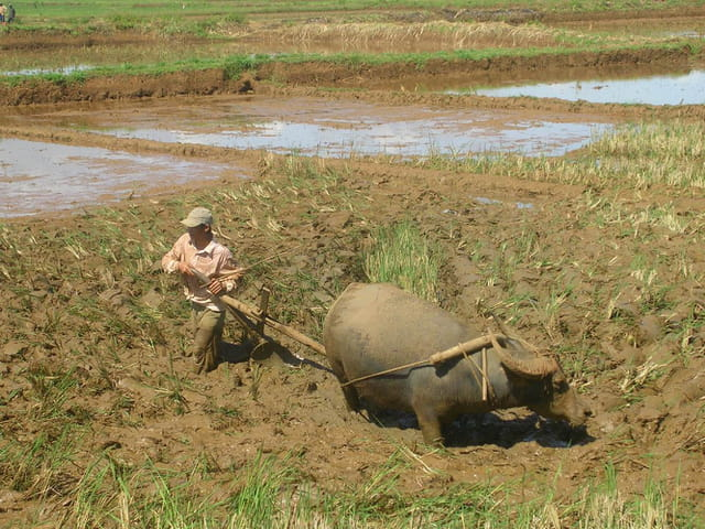 Labourage d'une rizière