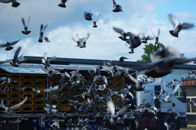 Lâché de pigeons voyageurs