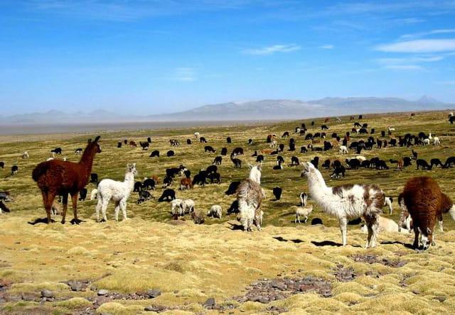 Lamas & Alpagas du Sajama