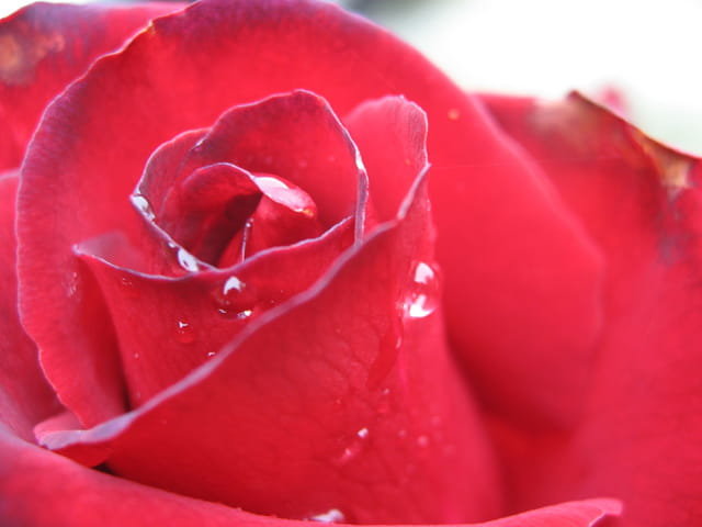 Larmes de rose