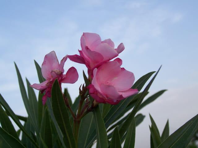 Laurier rose en fleurs