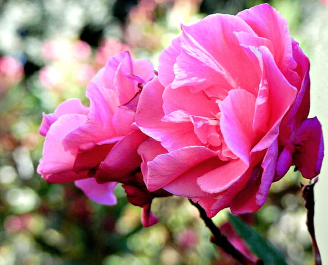 Lauriers rose