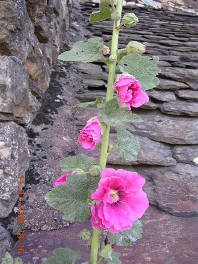 Lauzes et roses trémières