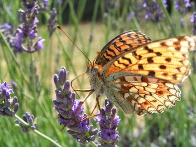 Lavande et papillons