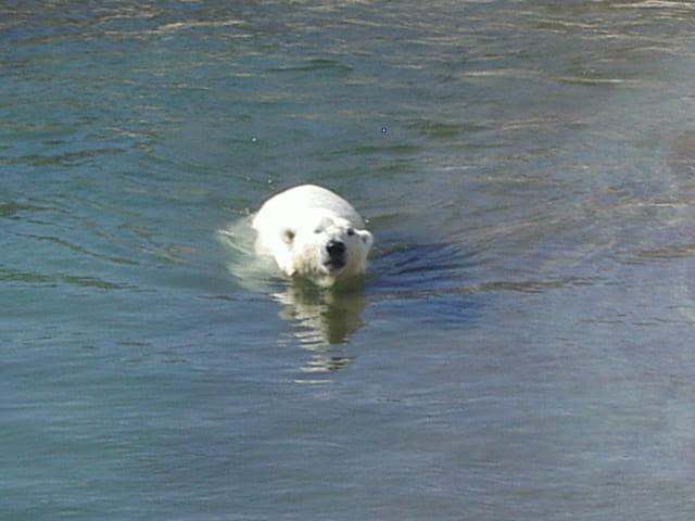 Le bain de l'ours blanc