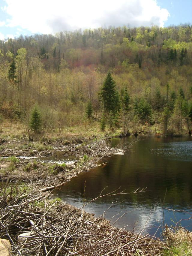 Le barrage des castors