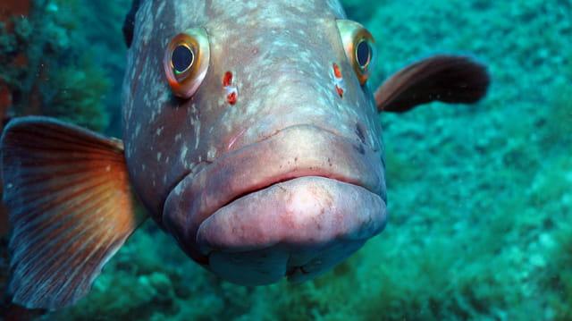le bisou du Mérou ... au plongeur