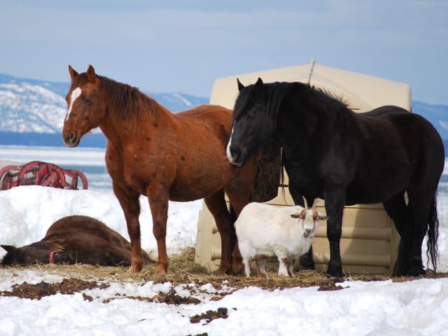 Le bouc et les chevaux.