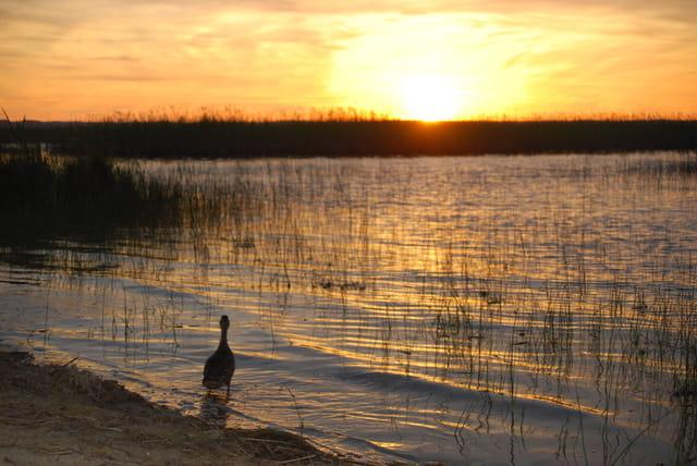 le canard dans le coucher de soleil