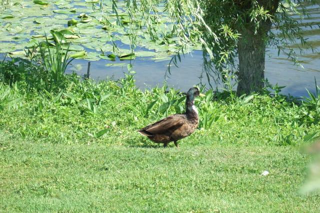 Le canard en ballade