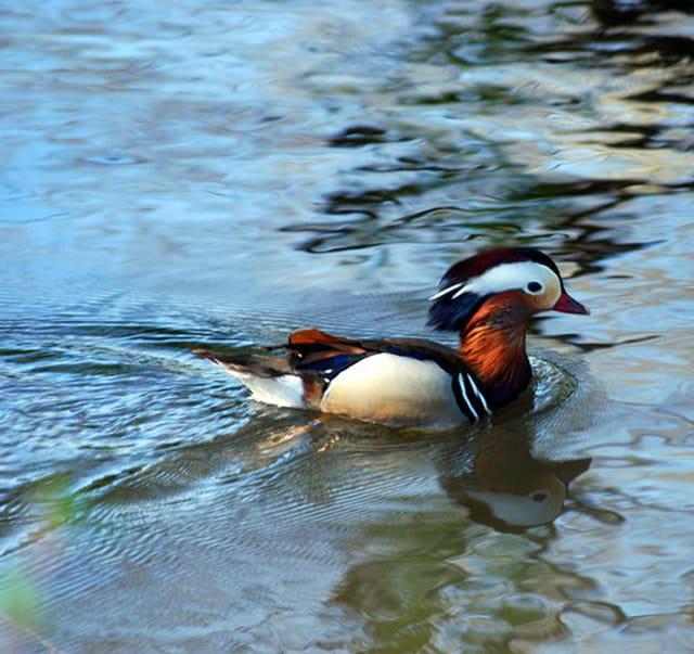 le canard Mandarin