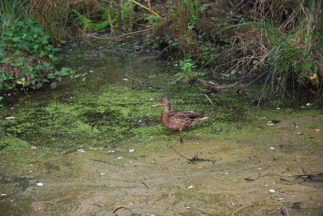 le canard sauvage dans les marécages