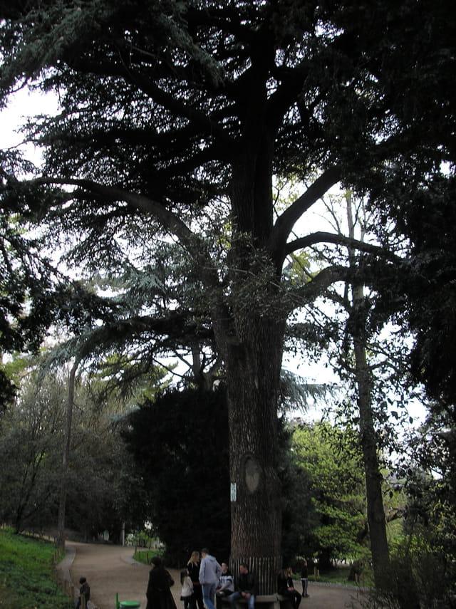 Le cèdre du Liban au Jardin des plantes