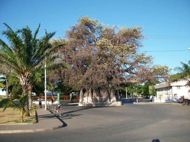 Le célèbre baobab centenaire de Majunga