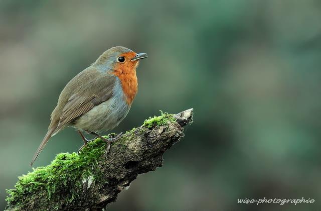 le chanteur du sous bois