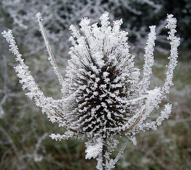 Le chardon et son habit d'hiver