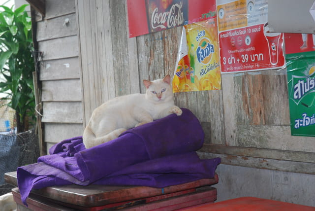 le chat de Panyi Island