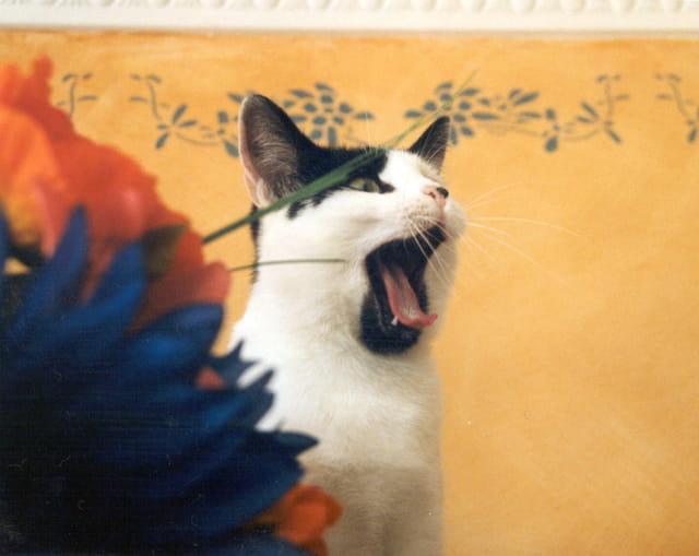 Le chat Réglisse baille
