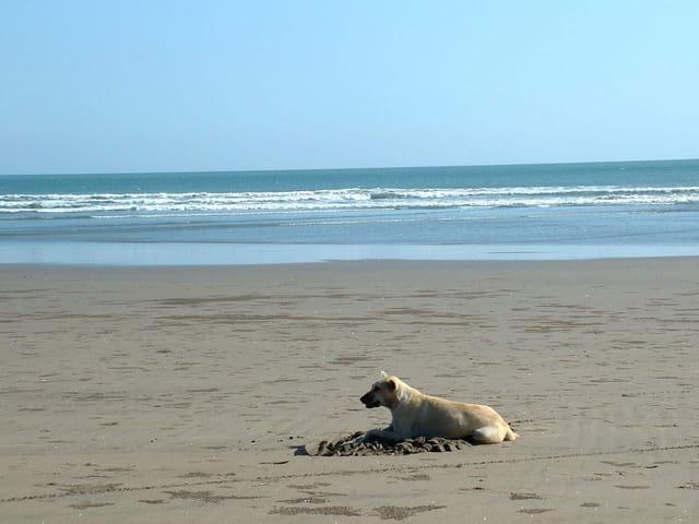 Le chien de l'océan Indien