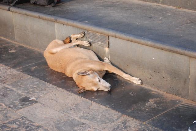 le chien endormi