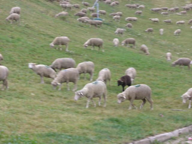 Le chien et les moutons