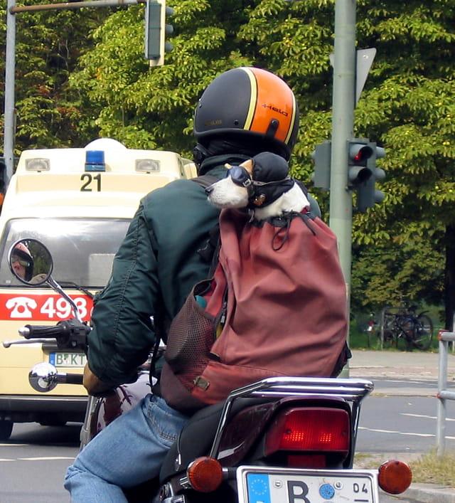 Le chien motard....