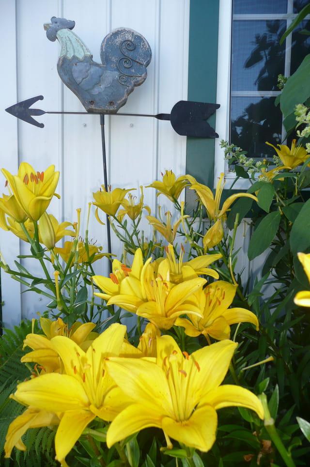 Le coq et les lys jaunes