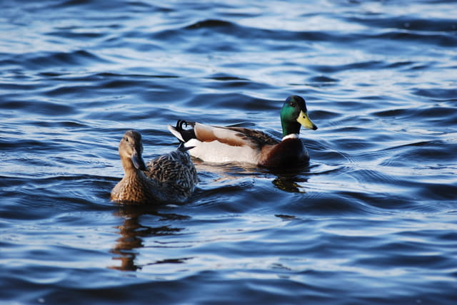 Le couple de canards sauvages