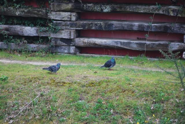 le couple de pigeons