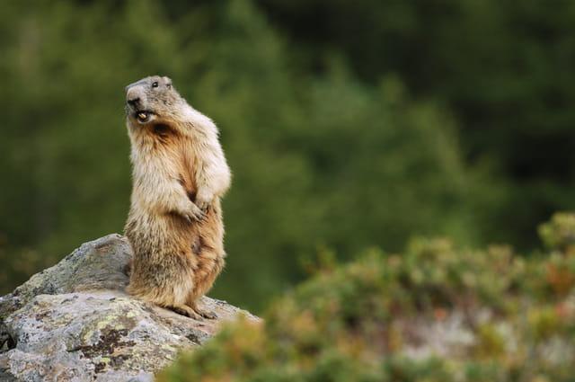 Le cri de la marmotte