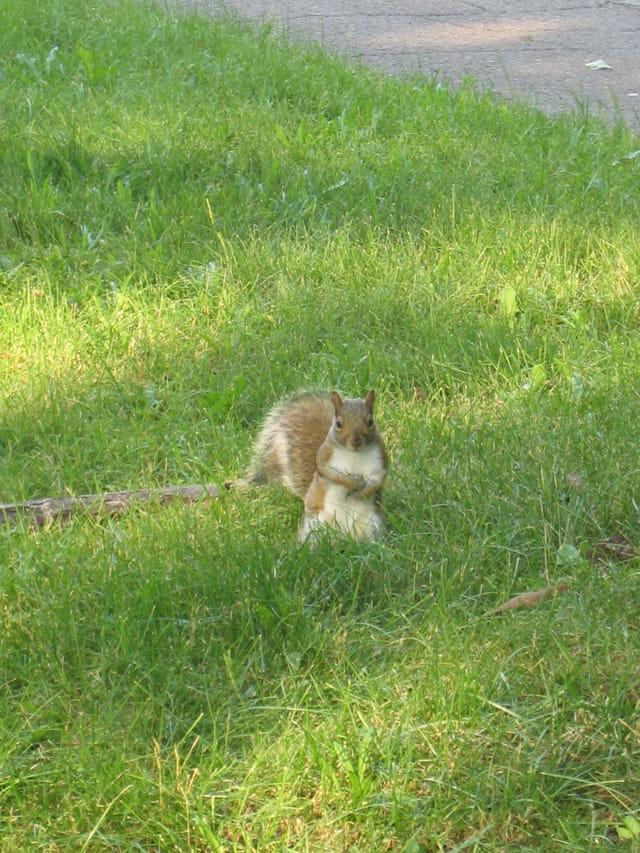 Le curieux écureuil