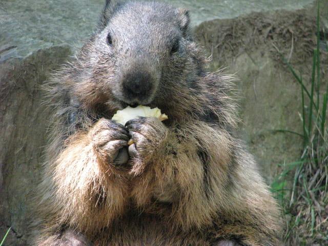 Le déjeuner de la marmotte